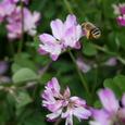 れんげ草と蜜蜂