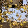 梵鐘と蝋梅