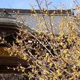 全徳寺の蝋梅