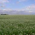 大原のそば畑