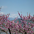 桃の花と甲斐駒ケ岳