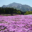 芝桜と武甲山