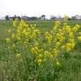 れんげ畑と菜の花